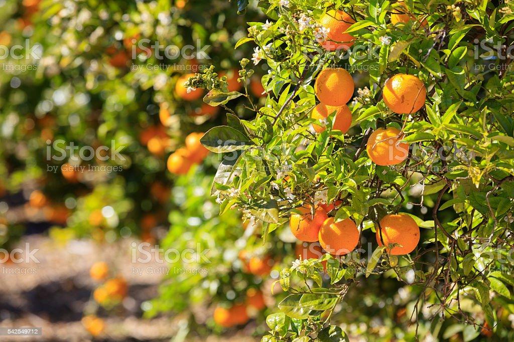 Ripe oranges hanging on tree stock photo
