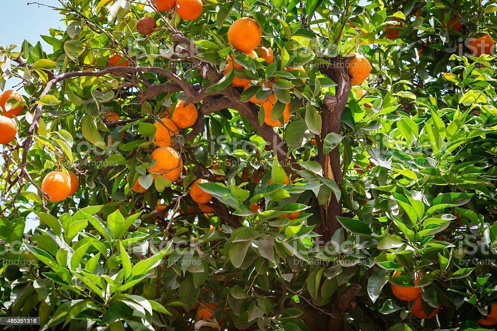 Ripe oranges on a tree stock photo