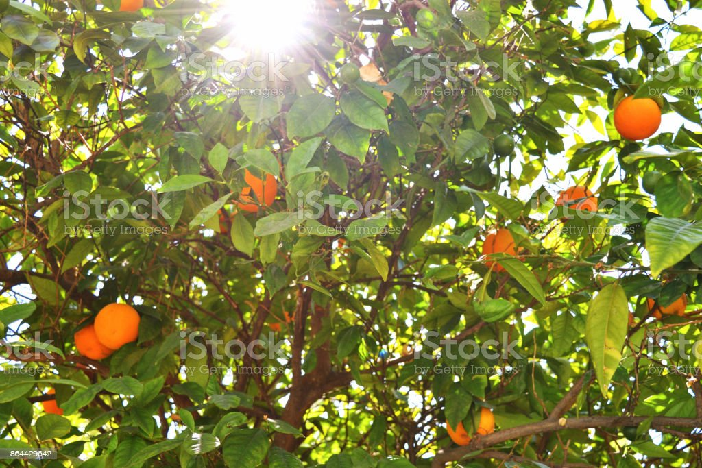 Ripe oranges on an orange tree in the foliage in the sunlight soft focus. stock photo