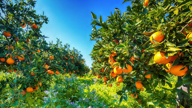 Ripe oranges on tree in orange garden stock photo