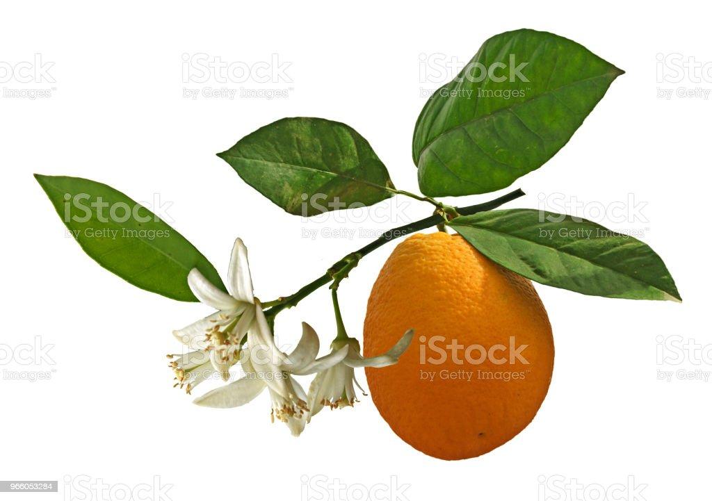 Ripe oranges on tree - Стоковые фото Без людей роялти-фри