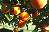 Ripe oranges on the branches