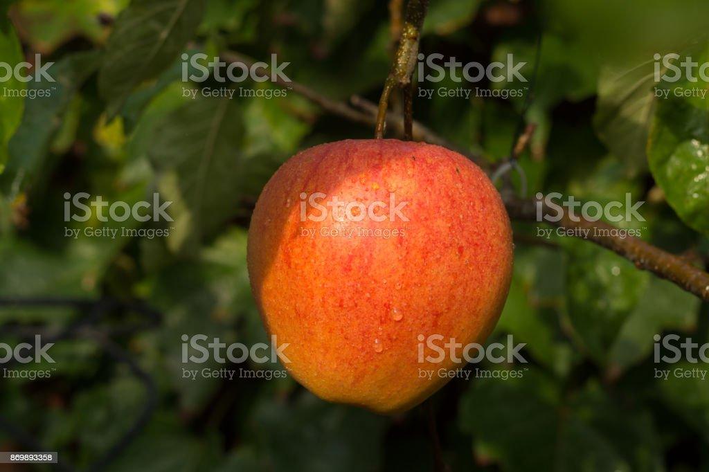 Ripe organic apple Braeburn on apple tree stock photo