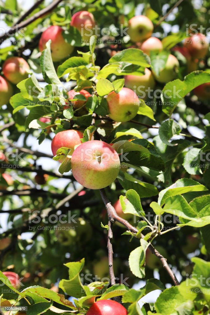 Ripe organic apples on tree in August summer month stock photo