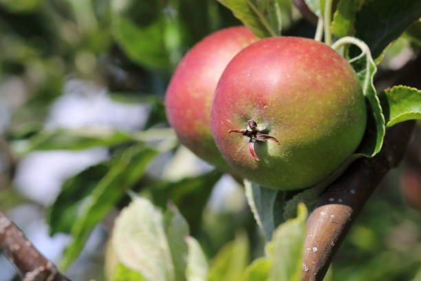 Ripe organic apples on tree in August summer month Organic Apples on tree in the last summer month August pejft stock pictures, royalty-free photos & images