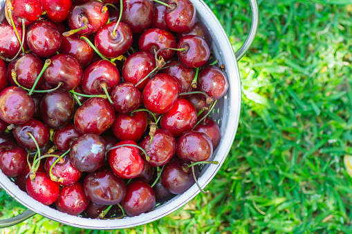Ripe Organic Freshly Picked Sweet Cherries in White Metal Colander on Green Grass in Garden. Nature Background. Summer Harvest Vitamins Clean Eating Freshness Vegan. Poster Banner Template