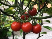 Ripe organic tomatoes growing on a branch in the garden.