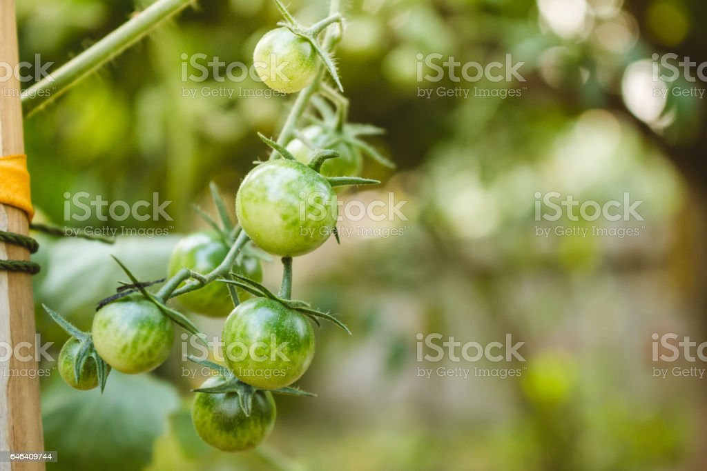 Ripe Organic Tomatoes Plants Growing On A Branch Stock Photo - Download  Image Now