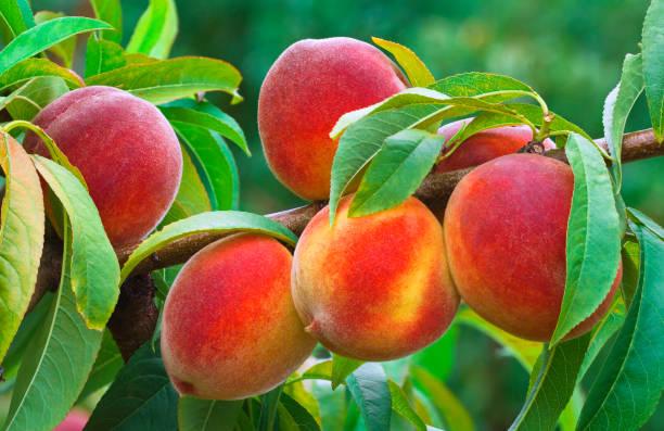 reifer pfirsich zweig im obstgarten - peach stock-fotos und bilder