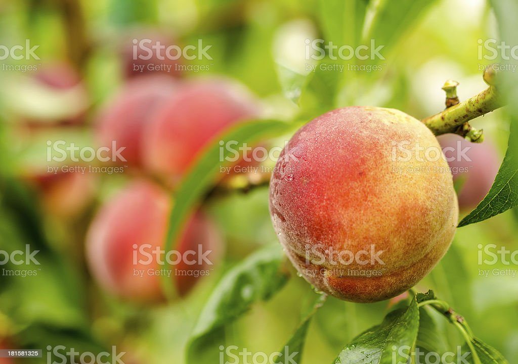 Ripe peaches fruits on a branch stock photo