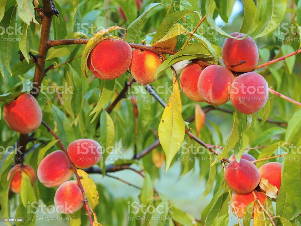Ripe peaches hanging on a tree stock photo