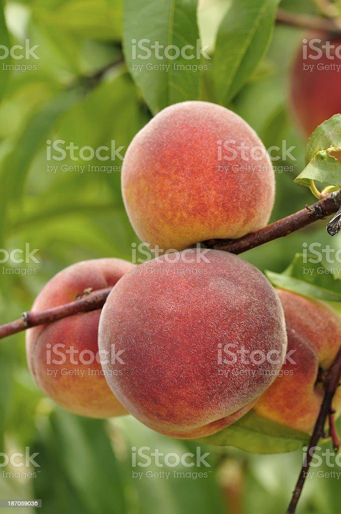 Ripe peaches on tree royalty-free stock photo