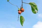 Ripe persimmons fruit on the tree, photo use for advertising, design, trade and more