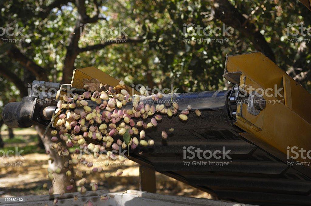 Maduro pistacho se recolectaron con un agitador mecánico - foto de stock