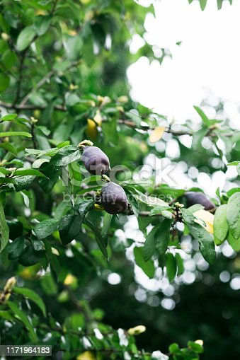 909651510istockphoto ripe plum fruit on a tree in the spring 1171964183