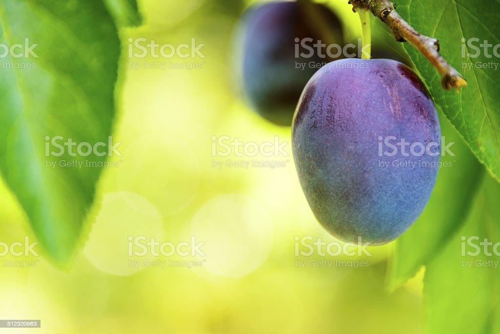 Ripe plum hanging in a tree -XXXL stock photo