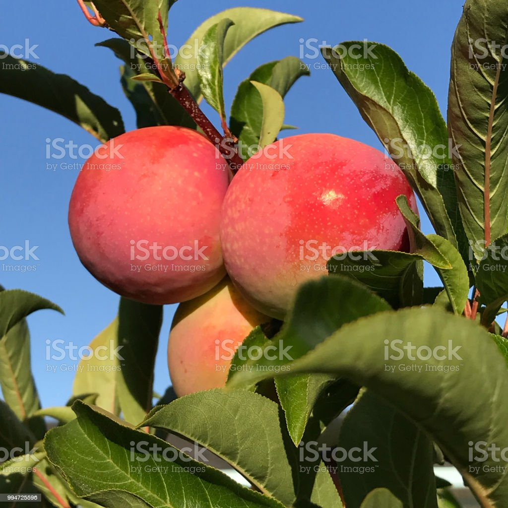 Ripe plumcots on tree ready to harvest stock photo
