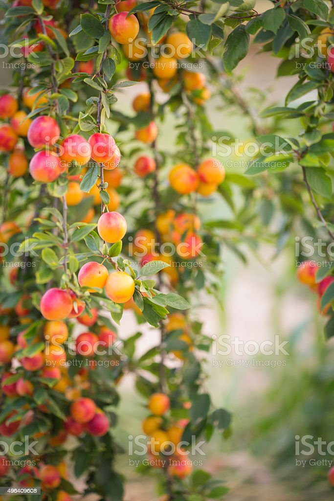 Ripe plums hanging from the branch stock photo