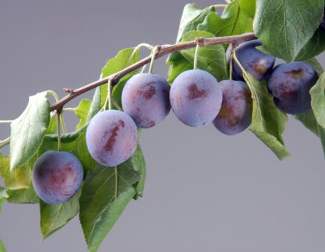 Ripe Plums On A Branch Stok Fotoğraflar & Ağaç'nin Daha Fazla Resimleri