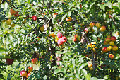 ripe plums on tree branches in fruit orchard