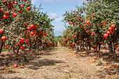 Ripe pomegranate fruits on the branches of trees in the garden.\nRows of pomegranate trees with ripe fruits on the branches in a garden.