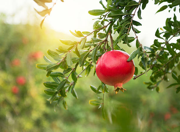 ripe pomegranates on tree - pomegranate stock photos and pictures