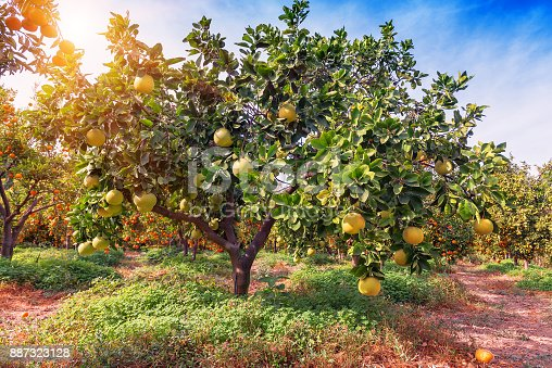 Ripe pomelo fruits hang on the trees in the citrus garden. Harvest of tropical pomelo in orchard