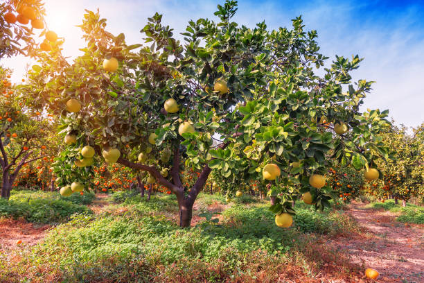 ripe pomelo fruits - grapefruit stock photos and pictures