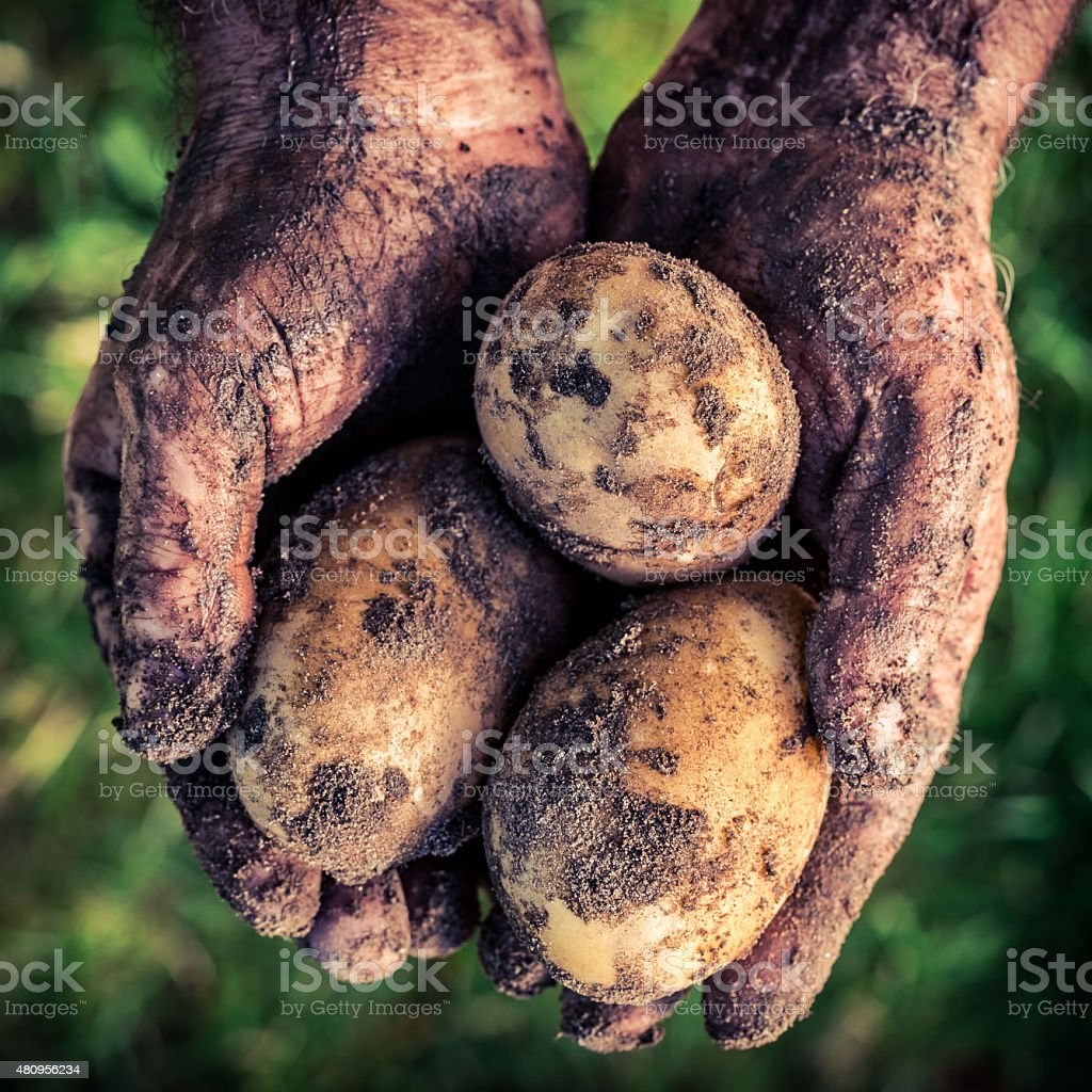 Ripe potatoes in hands stock photo