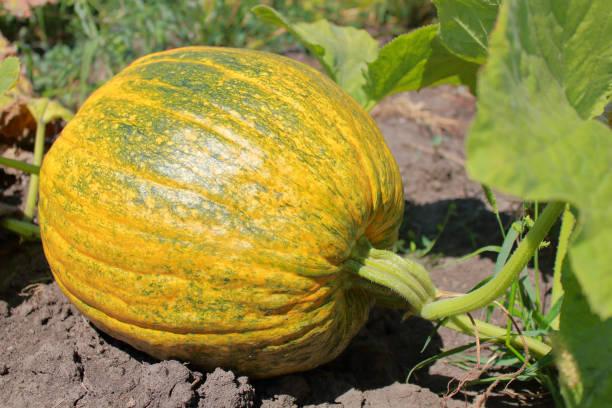 Ripe pumpkin lying in the garden.