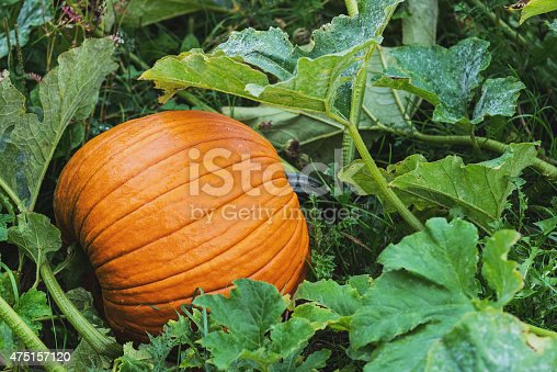A pumpkin ready for harvest on a small family farm in Nova Scotia's Annapolis Valley.