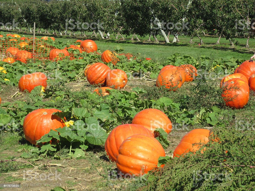 Ripe pumpkins growing on farm ready for picking for Halloween royalty-free  stock photo