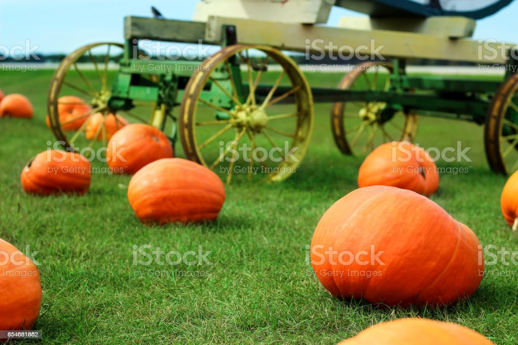 Ripe Pumpkins in a Field. Halloween stock photo