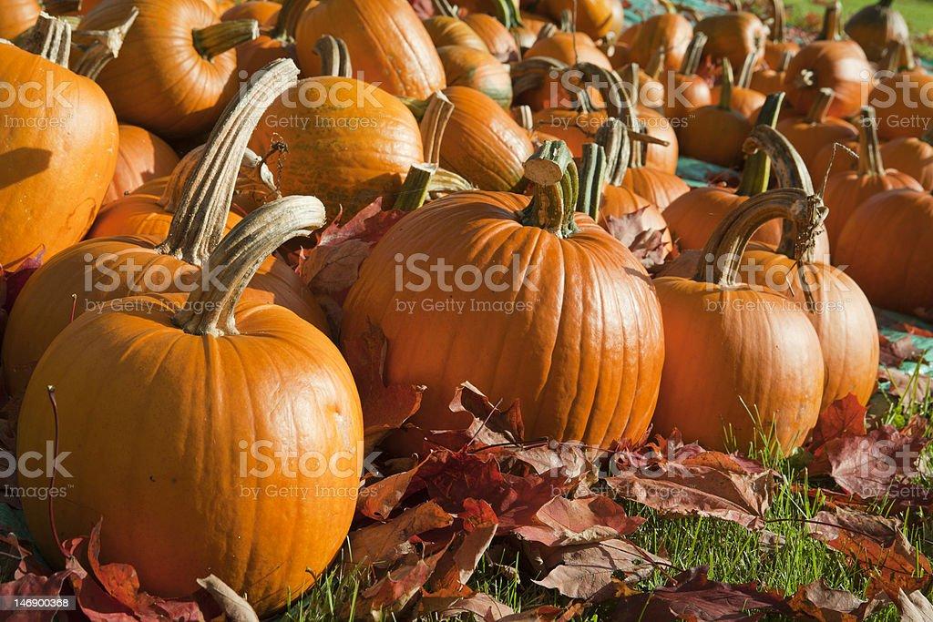 Ripe Pumpkins in a Field stock photo