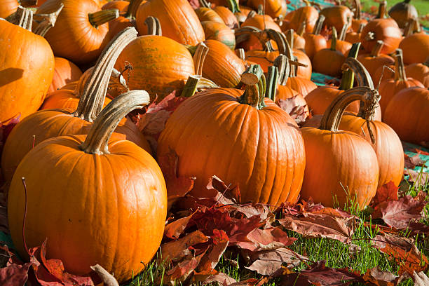 Ripe Pumpkins in a Field stock photo