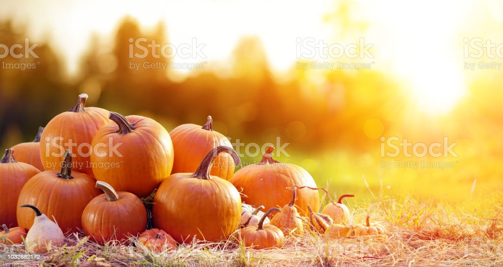 Ripe Pumpkins In Field At Sunset