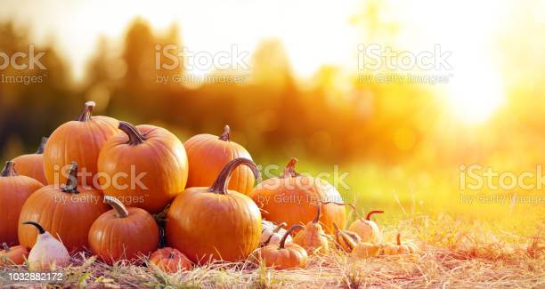 Ripe pumpkins in field at sunset picture id1032882172?b=1&k=6&m=1032882172&s=612x612&h=zbqwu kdao2 rzv6sfhlkdzcgiggyxg4v cx5t3edku=