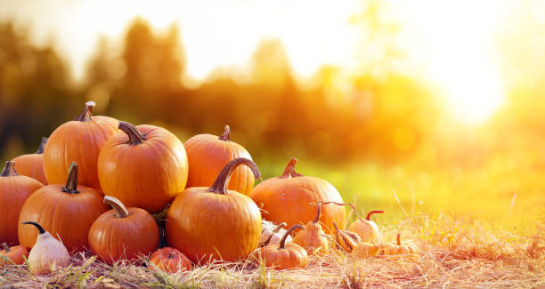 Ripe Pumpkins In Field At Sunset stock photo