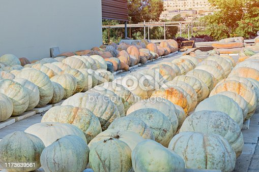 Ripe pumpkins of various sizes are stored in farm yard outdoor. Harvest and autumn concept