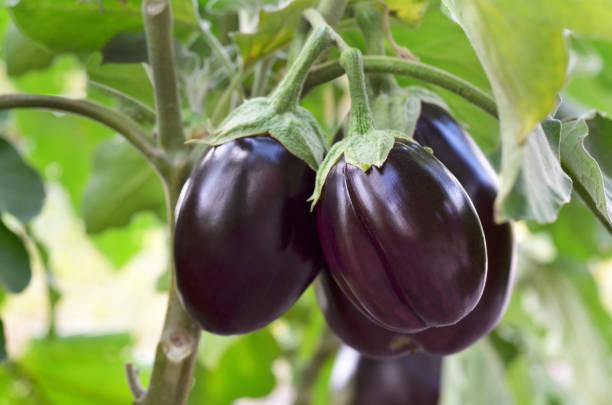 ripe purple eggplants - melanzane foto e immagini stock