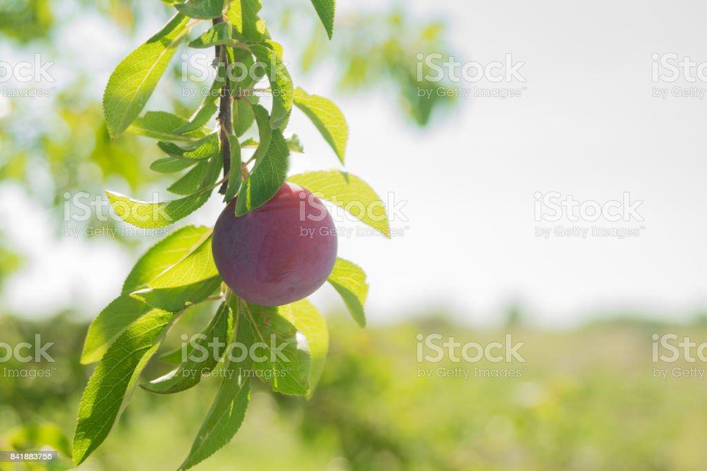 Ameixa roxa madura no ramo da árvore no dia de sol - foto de acervo