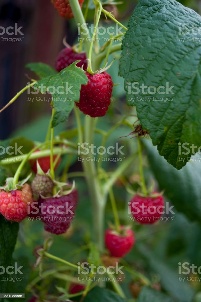 Ripe raspberries are growing in the garden stock photo