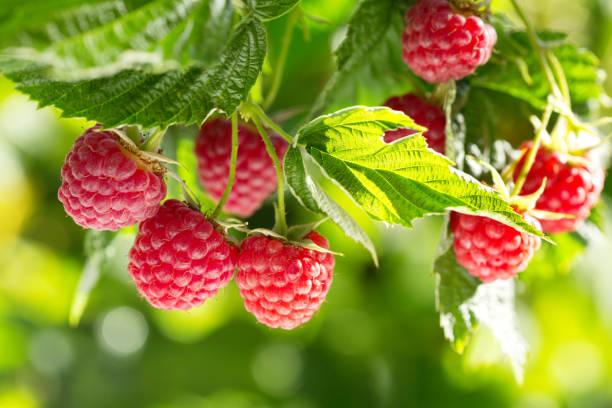 ripe raspberries in a garden stock photo