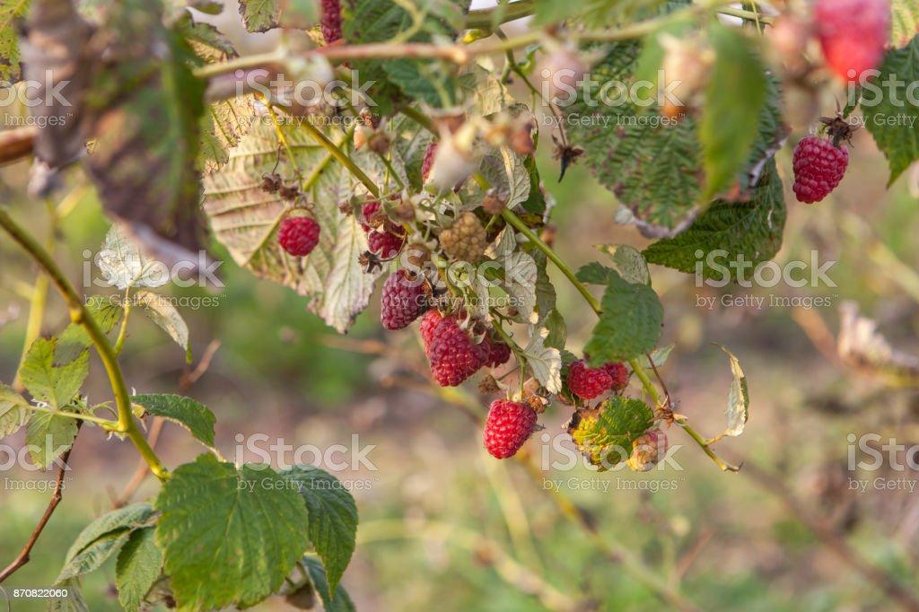Ripe raspberries on bush stock photo