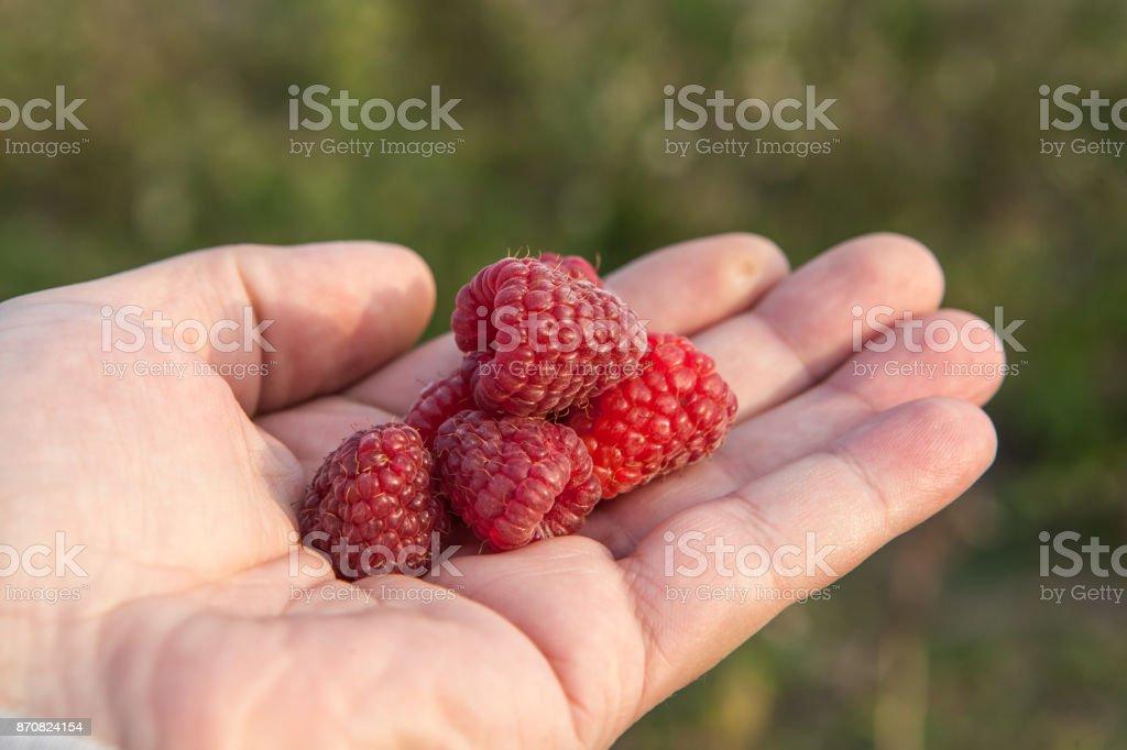 Ripe raspberries on hand stock photo