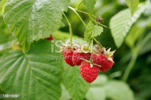 istock Ripe raspberries 149419267