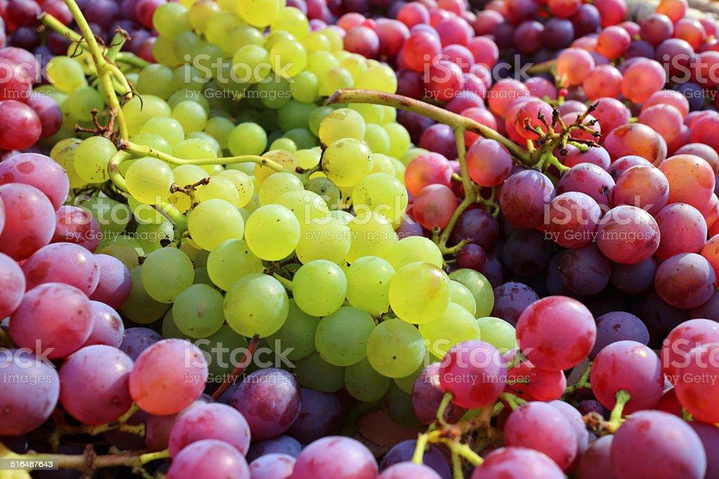 Reife rote und grüne Trauben im Herbst – Foto