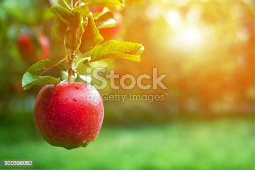 Ripe red apple close-up with sun rays and apple orchard in the background.