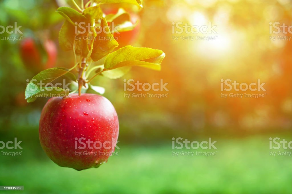 Ripe red apple close-up with apple orchard in the background. stock photo