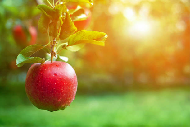 ripe red apple close-up with apple orchard in the background. - ripe stock photos and pictures
